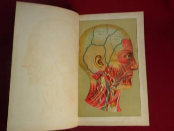 human head and skull antique die-cut litho medical anatomy overlay