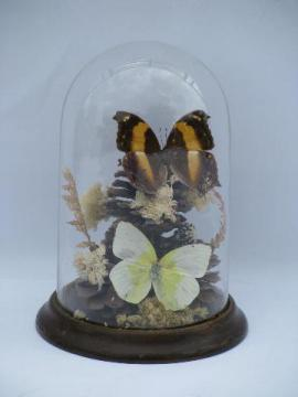 vintage glass dome natural history display, butterfly specimens on flowers