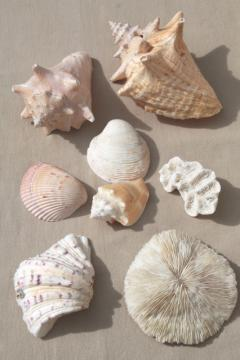 vintage seashells collection, large natural history sea shell specimens