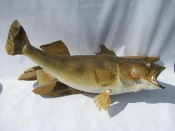 vintage taxidermy fish, 24 inch walleye trophy mount for camp cabin or lodge